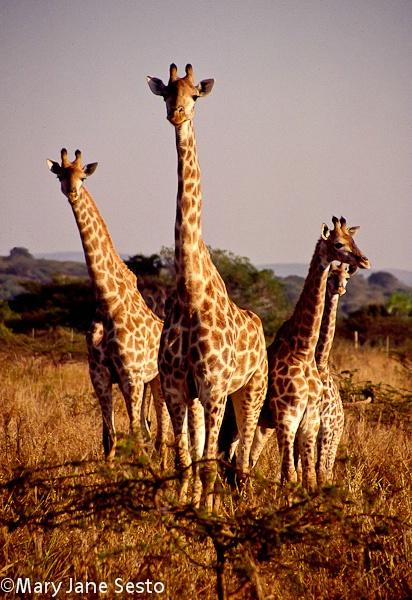 4 Giraffe, South Africa