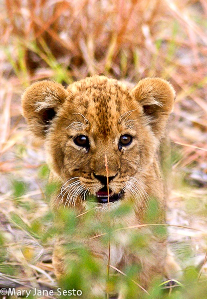 Baby Lion3, Botswana