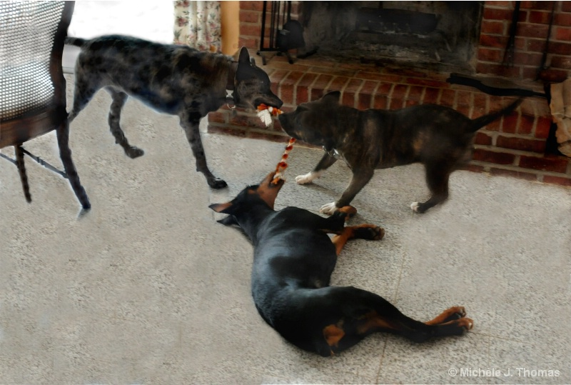 A 3 Dog Tug Of War !
