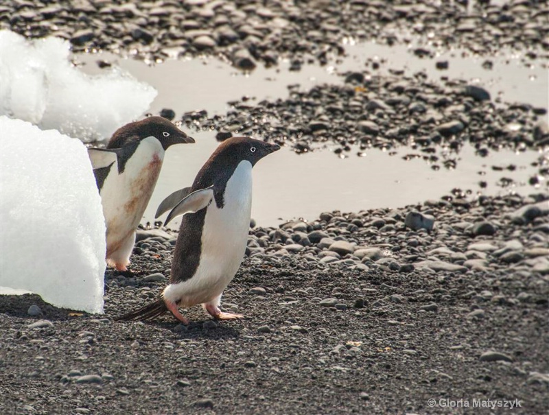 Playing chase,2 Adelie penguins, Antarctica