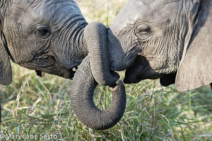 Elephant Playing1, South Africa