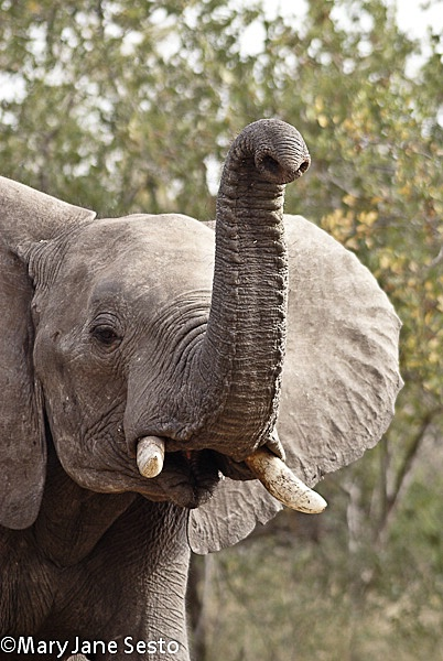 Elephant55, South Africa