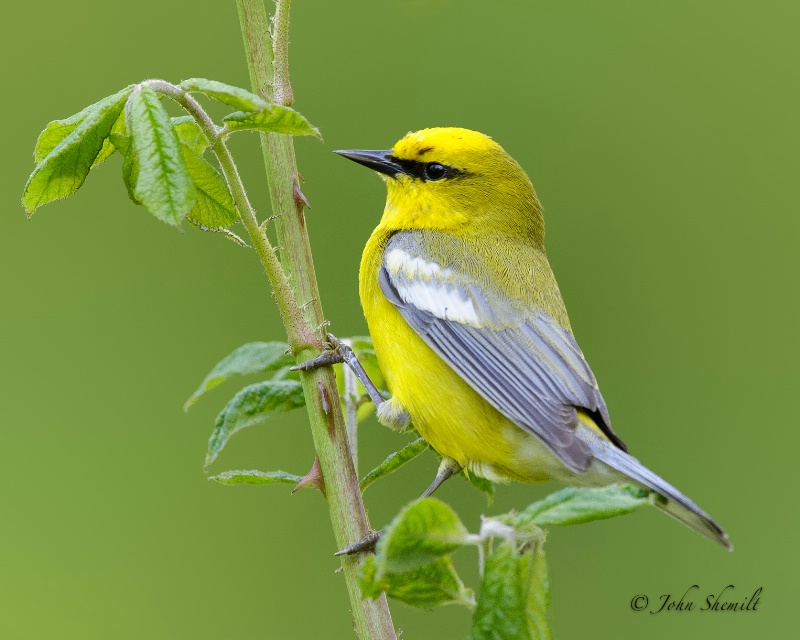 Blue-winged Warbler - May 20th, 2012