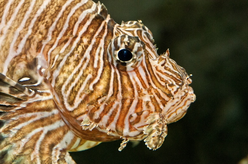 Lion Fish Profile