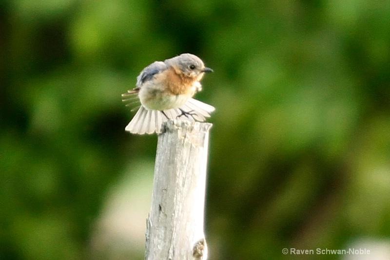 Bluebird Dancing