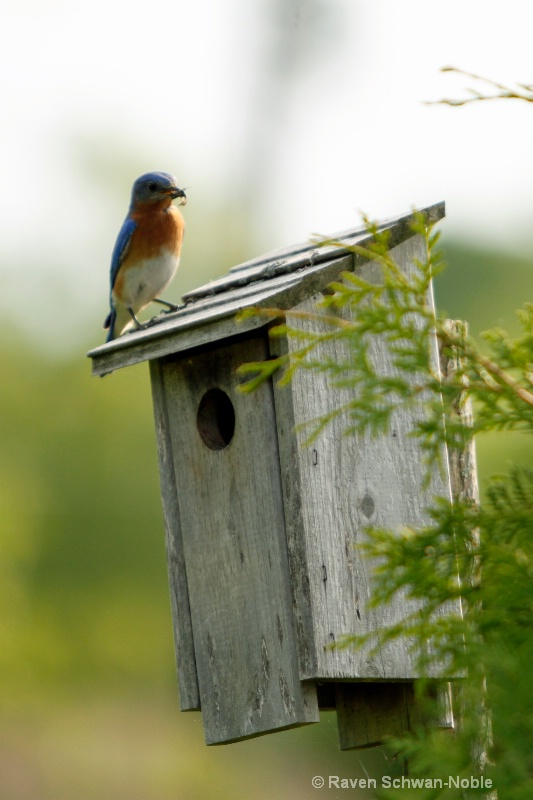 Bluebird sentry