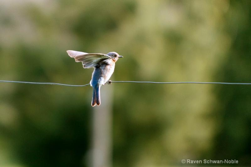 Bluebird Aerobics