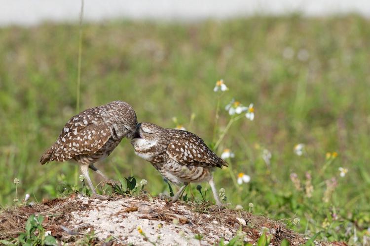 burrowing owl-4633