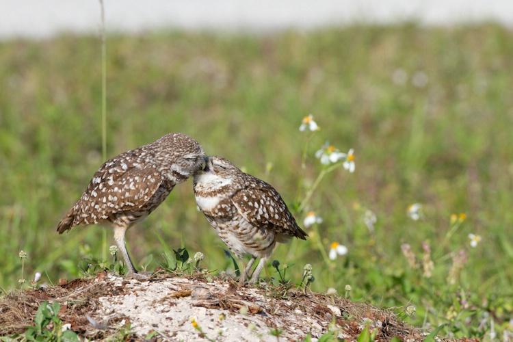 burrowing owl-4638
