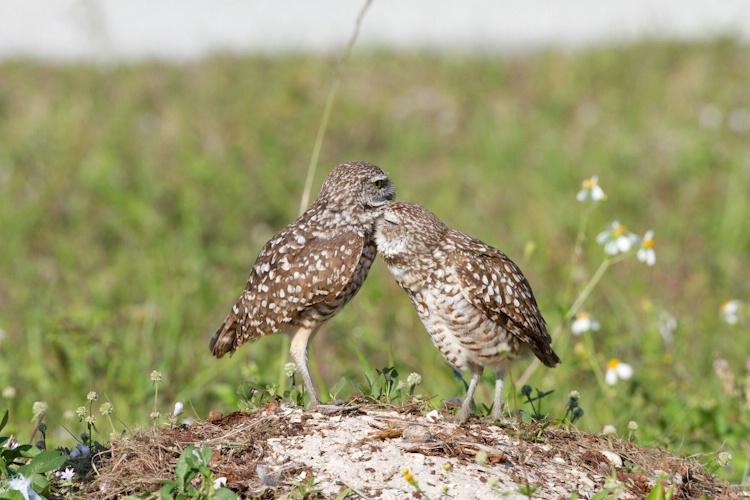 burrowing owl-4671