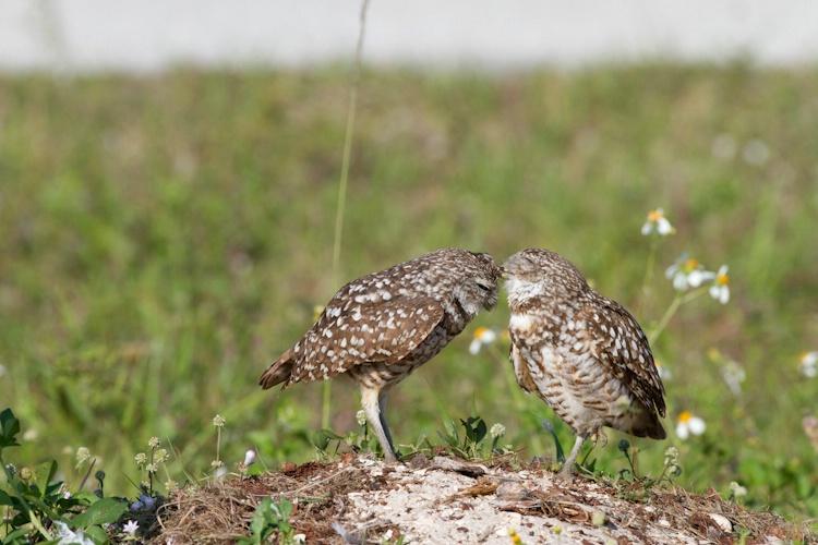 burrowing owl-4717