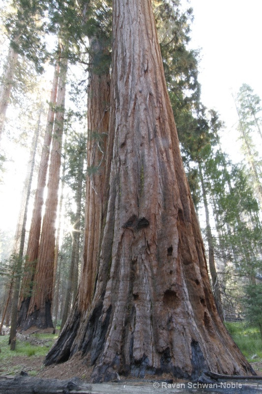 Giant Sequoia 051912 046
