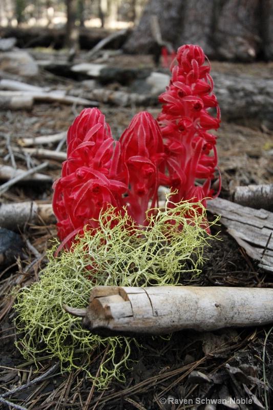 Snow Plant & Lichen 051912 130