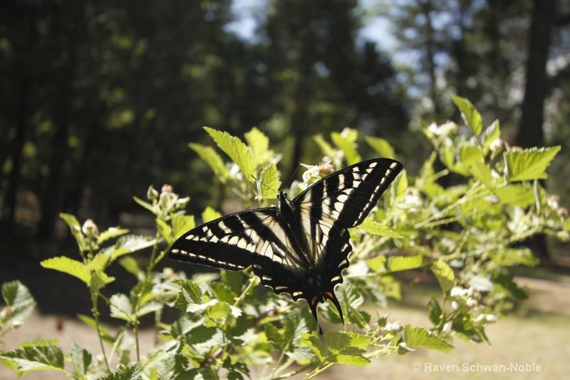 Swallowtail 052012 224