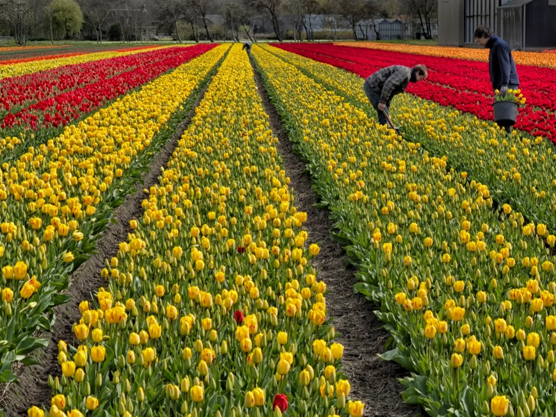 Working With Tulips