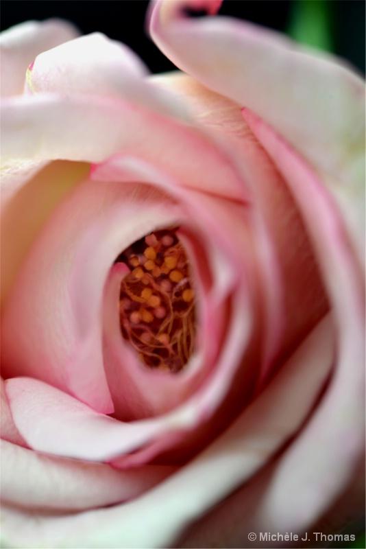 Inside My Pink Rose !