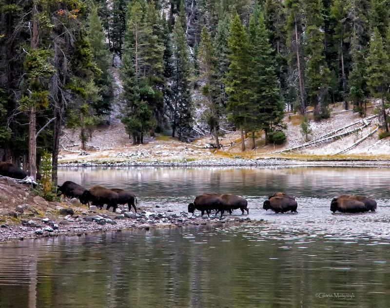 Buffalo crossing the Yellowstone River