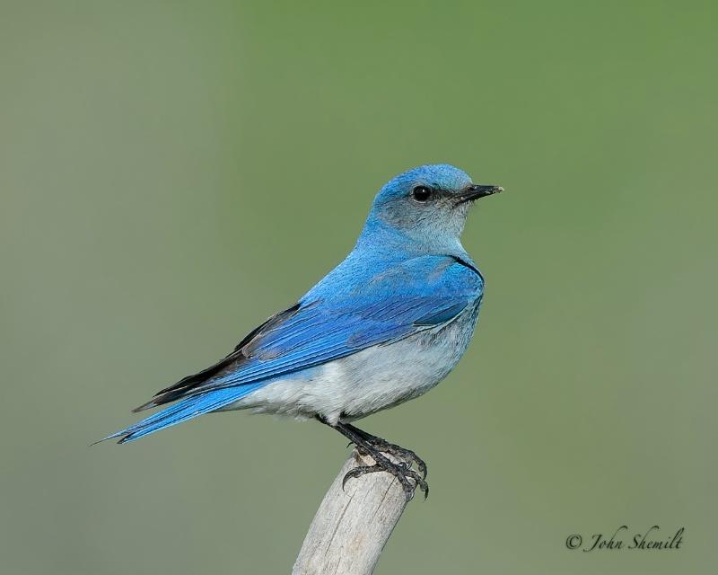 Mountain Bluebird - June 13th, 2012