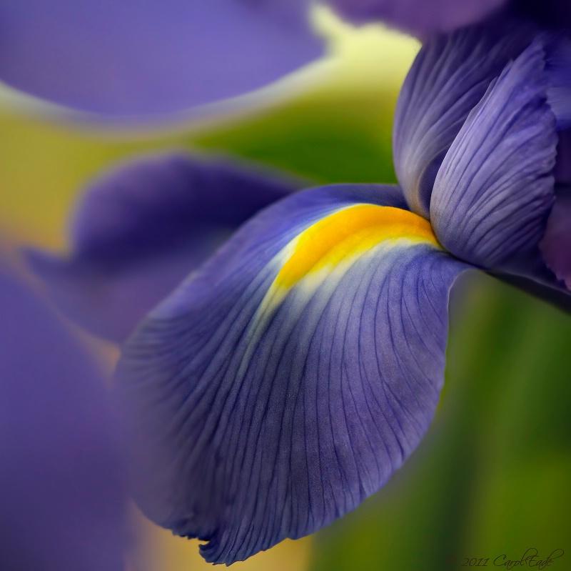 Intimate Iris
