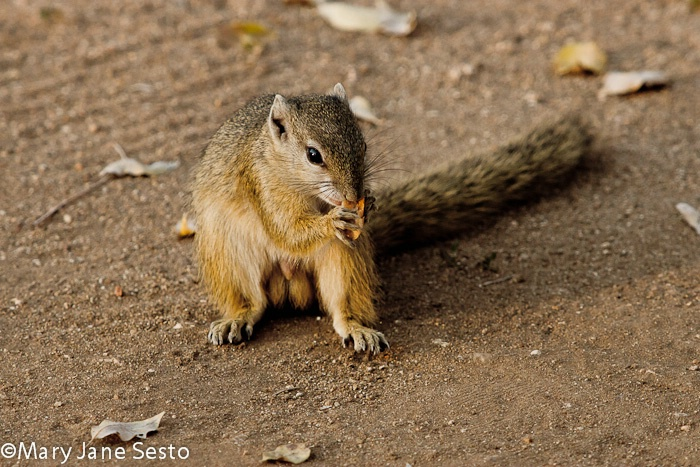 Squirrel5, KNP, South Africa