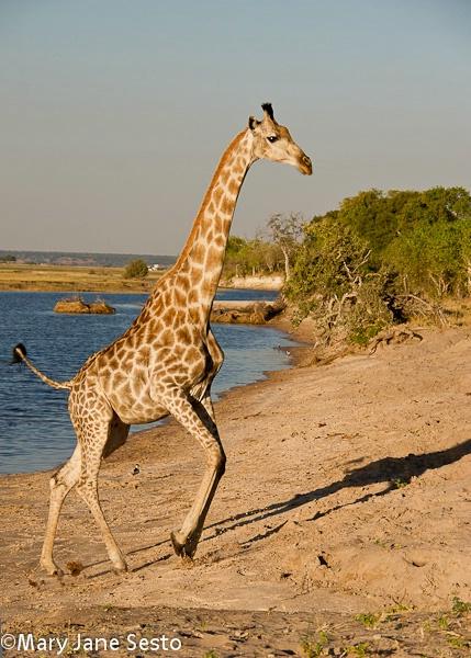 Giraffe6, Chobe