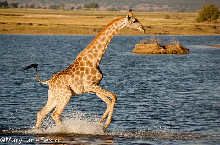 Giraffe1, Chobe