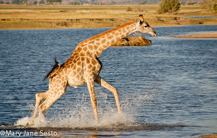 Giraffe2, Chobe