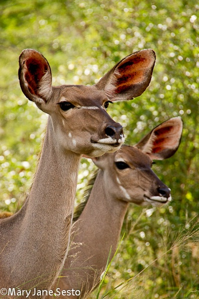 Kudu11, KNP, South Africa