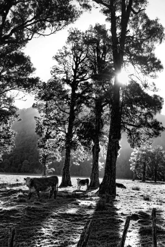 GrazIng Beneath Manuka Trees