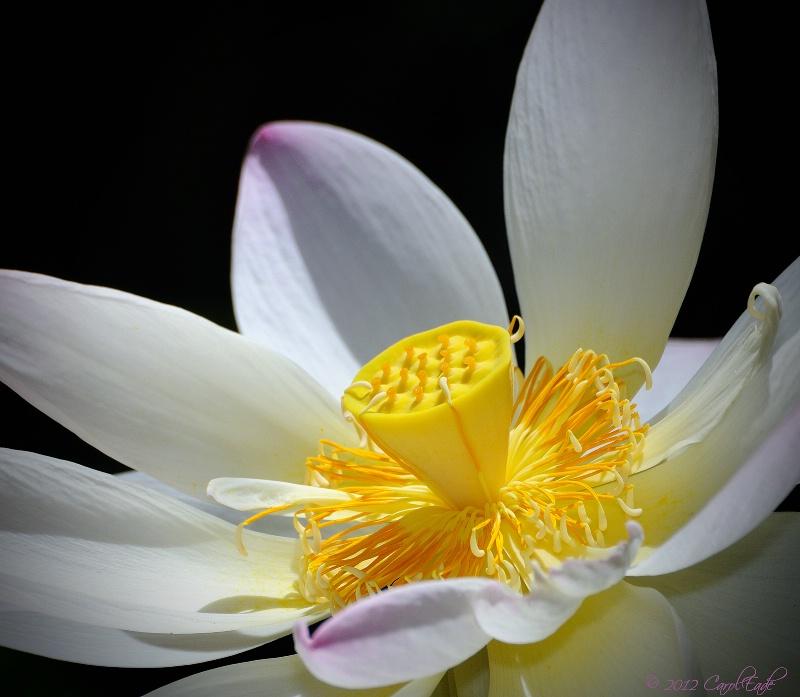 Lotus ID 13079916