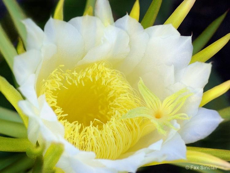 Cereus Close-up