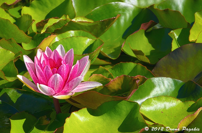 Lone Water Lily