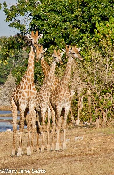 Giraffe22, Chobe