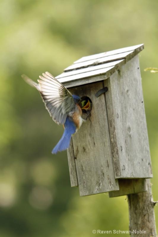 bluebird060812 008