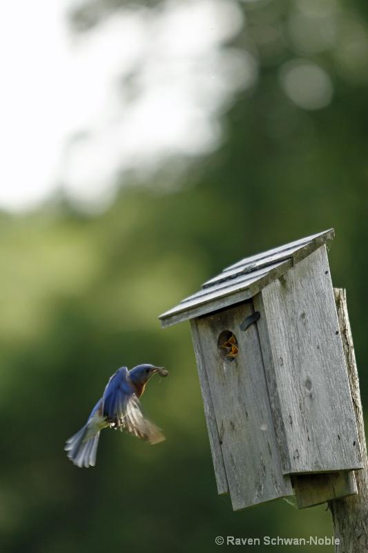 bluebird060912 032
