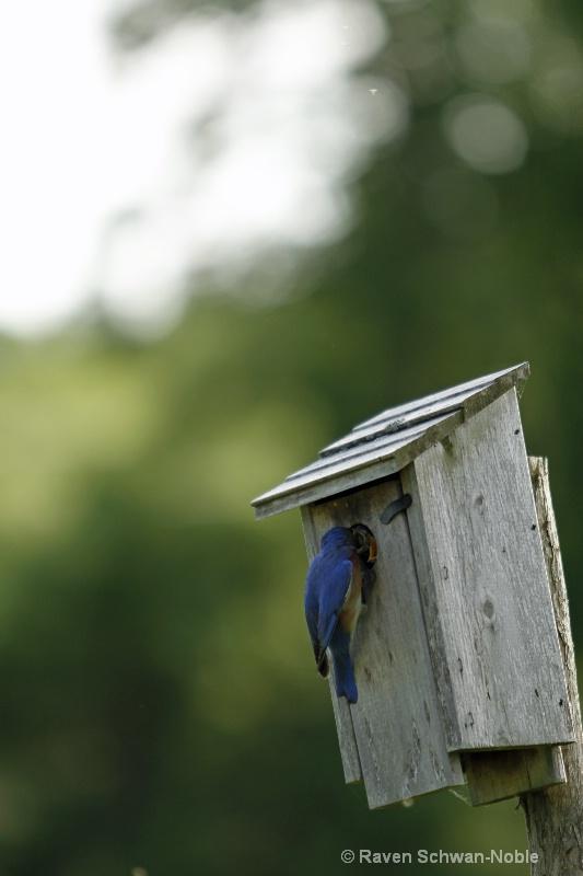 bluebird060912 036