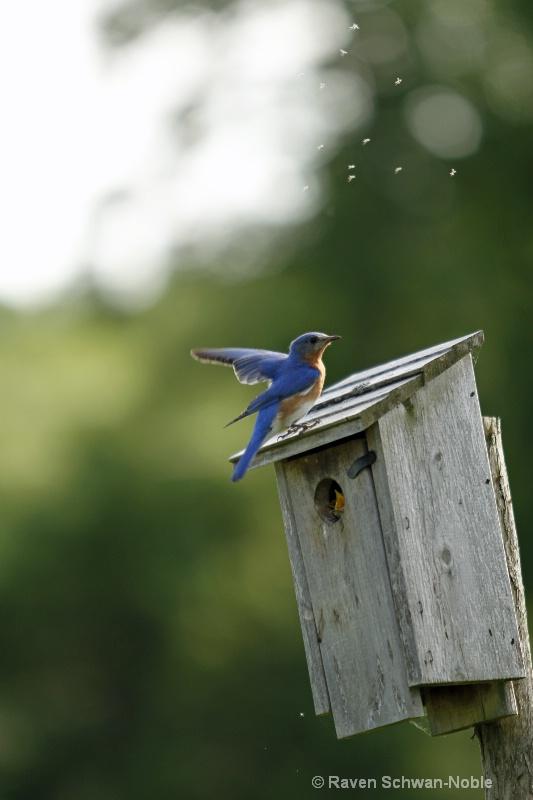 bluebird060912 040