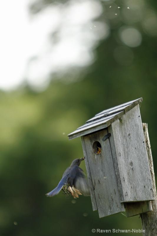 bluebird060912 050