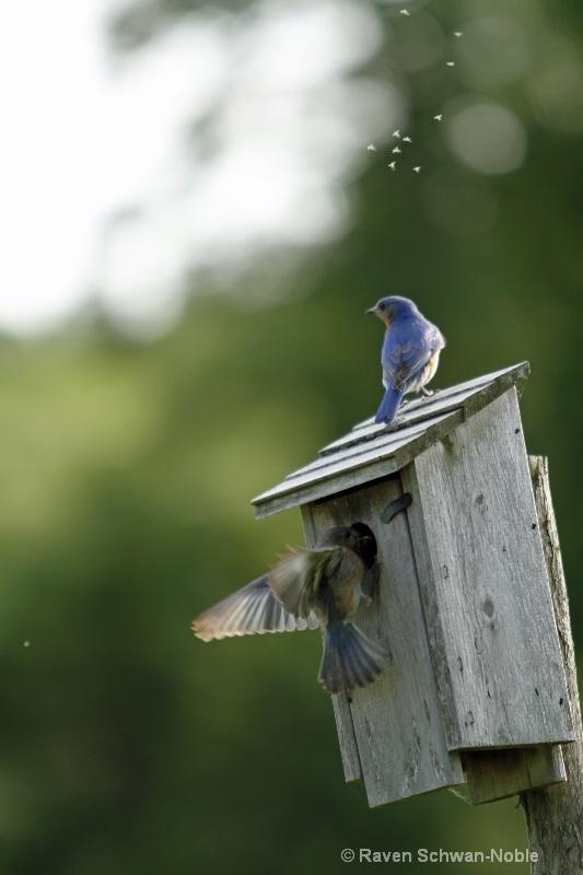 bluebird060912 124