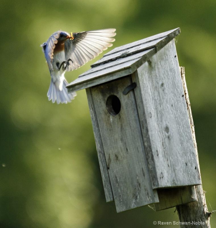 bluebird060912 190