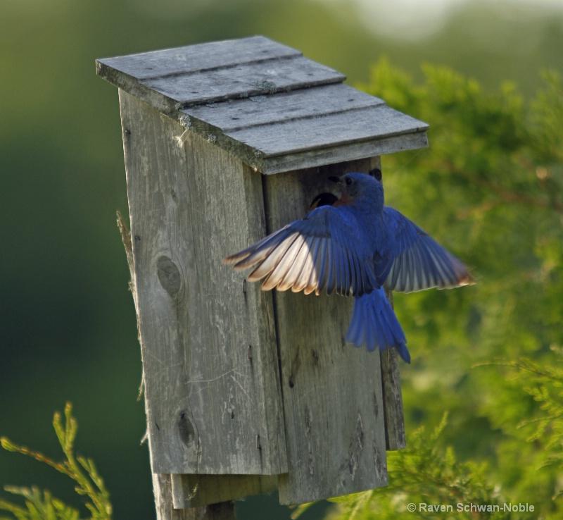 bluebird060912 232