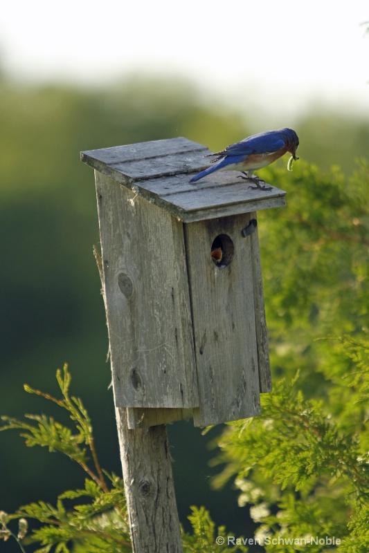 bluebird060912 248