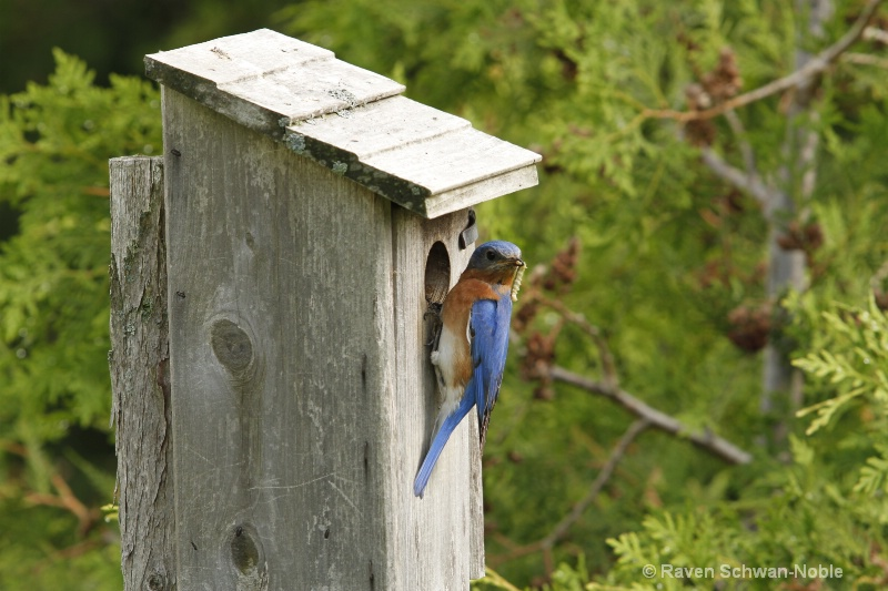 bluebirds060312 028