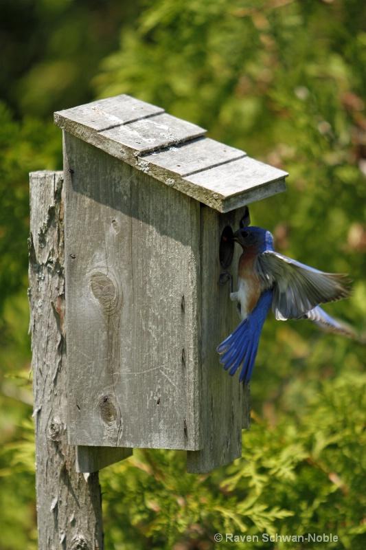 bluebirds060312 102