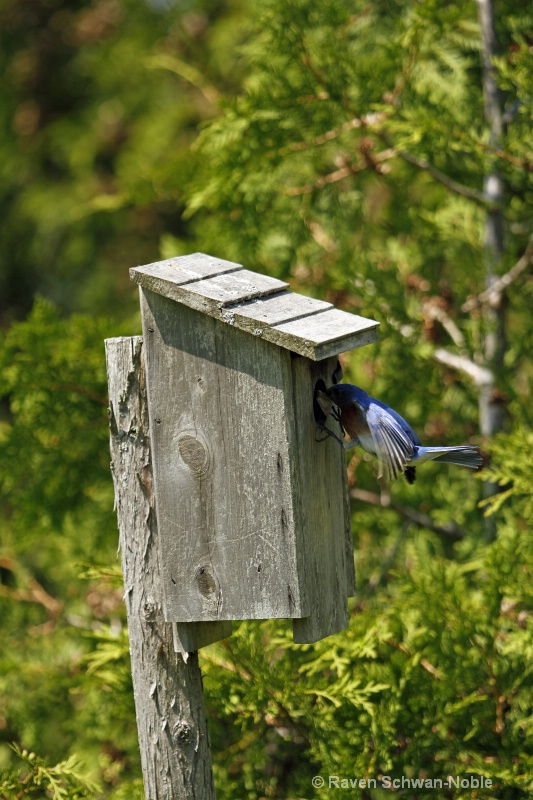bluebirds060312 170