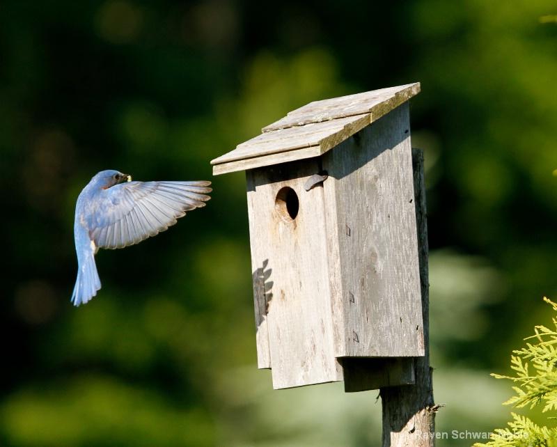 bluebirds061012 078