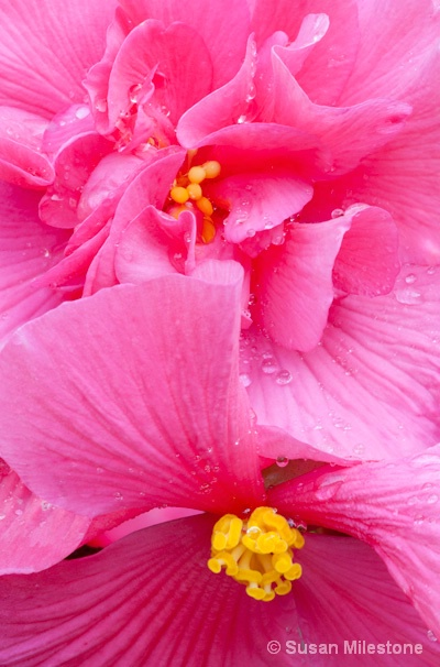 Pink Begonia 9934