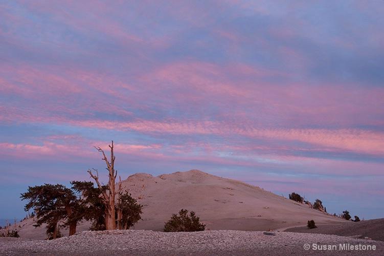 Ancient Bristlecone Pine Sunset 2850