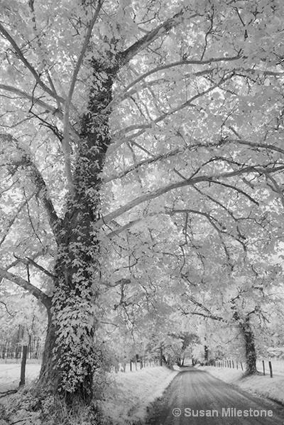 Cades Cove Sparks Lane Trees IR 8572