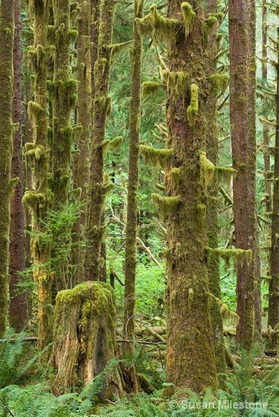 Hoh Rain Forest, WA 0241